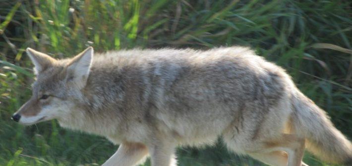 Parmi les animaux sauvages que vous rencontrerez dans les rocheuses canadiennes : le coyote